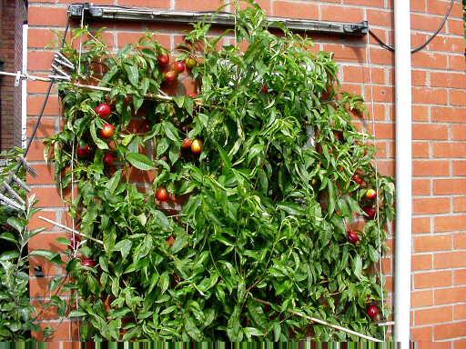 Нектарин из косточки в домашних условиях выращивание