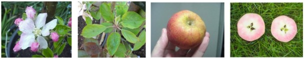 the diversity of redfleshed apples: the Etter type